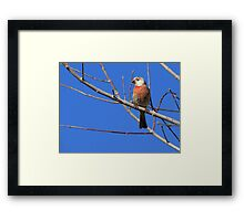 House Finch (Leucistic) ~ Male III Framed Print