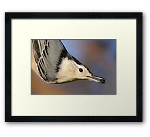White-breasted Nuthatch Portrait Framed Print