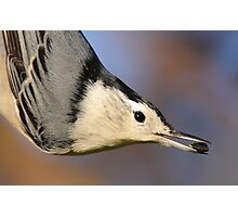 White-breasted Nuthatch Portrait Photographic Print