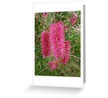 Australian Pink Weeping Bottle Brush (Callistemon viminalis) Greeting Card