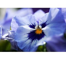 Blue Pansy Photographic Print