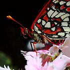 Male Checkerspot Butterfly by cherylwelch