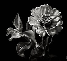 Zinnia in Black & White by Endre