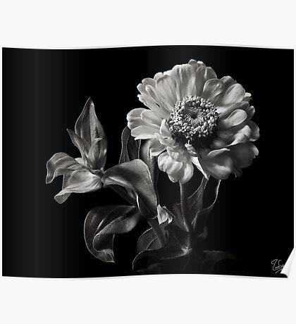 Zinnia in Black & White Poster