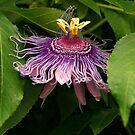 Texas Passion Flower by saxonfenken