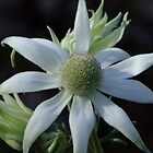 Australian Wildflowers - Flannel Flower by Gabrielle  Lees