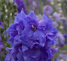 blue delphinium flower by Stecar