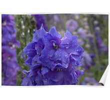 blue delphinium flower Poster