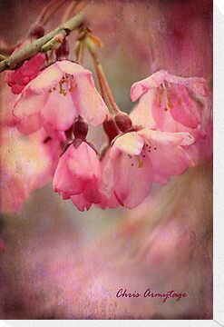 Cherry Blossoms by Chris Armytage