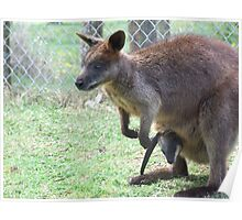 Rock Wallaby And Joey Poster