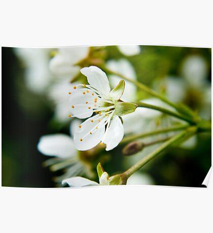Cherry tree white flower Poster