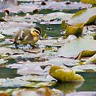 Walking on Water - the duckling by Mark Elshout