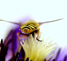 Hoverfly over clematis by daleslass