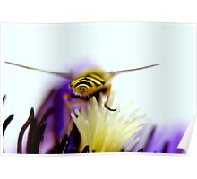 Hoverfly over clematis Poster