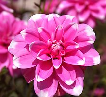 Pink Dahlia Lady With White Finger Tips by SmoothBreeze7
