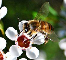 Bee landing on a Geraldton Wax flower by Jodi Kneebone