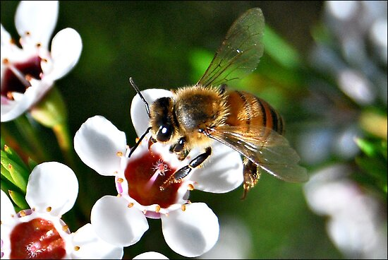 Bee landing on a Geraldton Wax flower by Jodi Kneebone