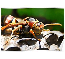 Paper Wasp guarding eggs Poster