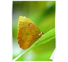 Tropical Yellow Orange Butterfly on Lime Leaf in Costa Rica Rainforest Poster
