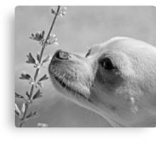 Chihuahua and the Important Message--Take Time to Smell the Flowers Canvas Print