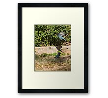 Ornery Blue Jays Framed Print