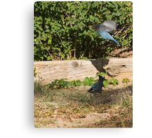 Ornery Blue Jays Canvas Print
