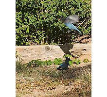 Ornery Blue Jays Photographic Print