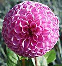 Pink Pom Pom by Audrey Clarke