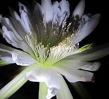 Cereus Around Midnight by jsmusic