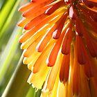 Flower-a-glow by cherylwelch