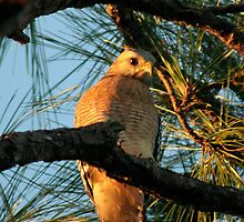 Red Shouldered Hawk by Jim Sugrue