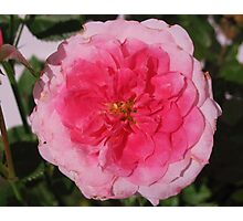 A Rose in the Pink Photographic Print