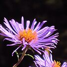 Purple Aster by teresa731