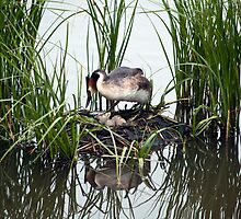 Great Crested Grebe on nest 1 by davejw