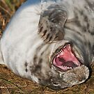 Laughing Grey Seal by Elaine123