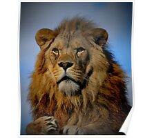 Portrait of a Proud Male African Lion with Amber Eyes Poster