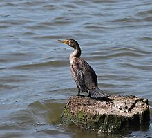 A Positive Effect-The Double-Crested Cormorant by deb cole