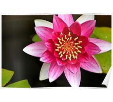 Pink Yellow Water Lily and Green Lily Pads Floating on a Pond Poster