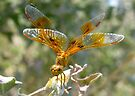 Dragonfly ~ Mexican Amberwing (Female) by Kimberly Chadwick