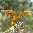 Dragonfly ~ Mexican Amberwing (Female) by Kimberly P-Chadwick