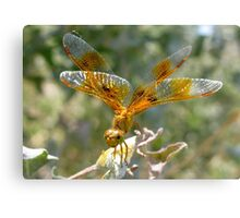 Dragonfly ~ Mexican Amberwing (Female) Canvas Print