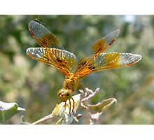 Dragonfly ~ Mexican Amberwing (Female) Photographic Print
