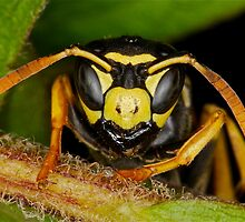 European Paper Wasp by main1