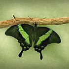 Emerald Swallowtail Butterfly by Sandy Keeton