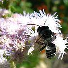 Leafcutter Bee (Megachile) by Kimberly Chadwick