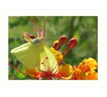 Butterfly ~ Cloudless Sulfur (Wings Down) Art Print