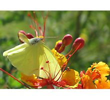 Butterfly ~ Cloudless Sulfur (Wings Down) Photographic Print