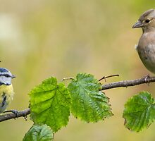 Blue Tit & Chaffinch by M.S. Photography/Art