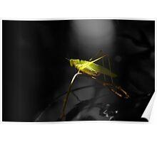 Grasshopper in Black and white background Poster