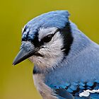 Blue Jay Portrait by Michael Cummings